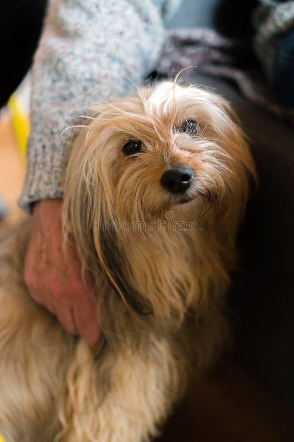 老人在长发家谱狗附近被包裹的手 在年长人旁边的白肤金发的本地狗在家户内,人的朋友 免版税库存照片
