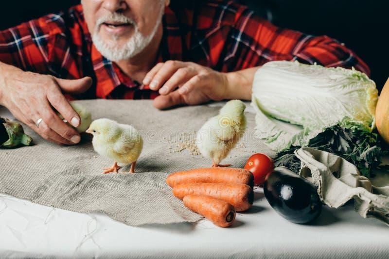 老人观看黄色小的鸡走在桌上 免版税图库摄影