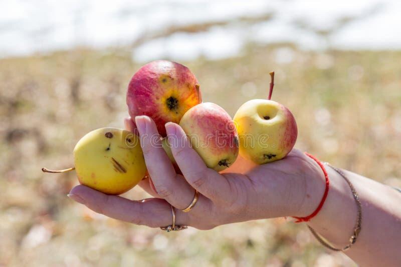 老人采摘苹果在他的果树园 审查苹果生产的他,当拿着条板箱用苹果时 免版税库存图片