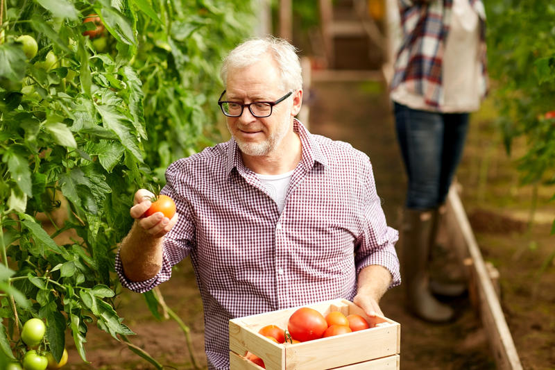 老人采摘蕃茄在农厂温室 免版税库存照片