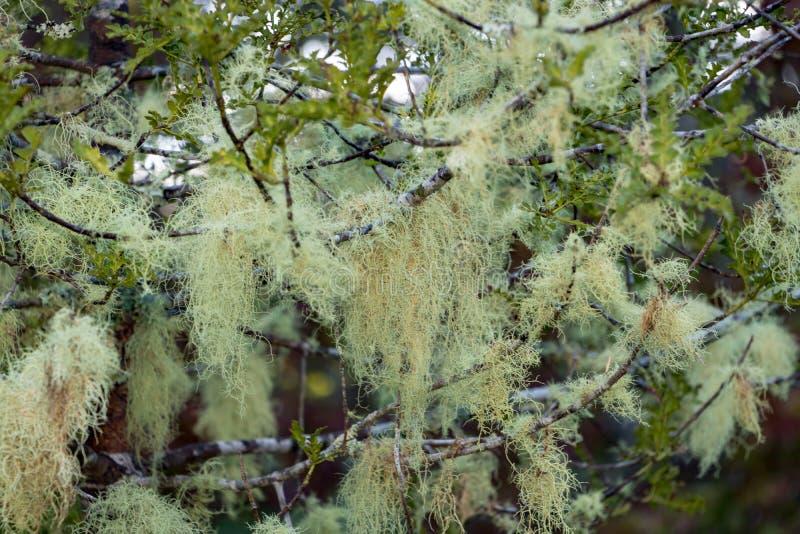 老人` s胡子在新西兰树的松萝地衣 免版税库存图片