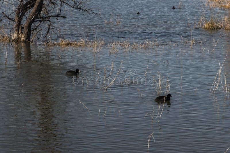 老傻瓜共同在La Fonda自然公园的沼泽  图库摄影