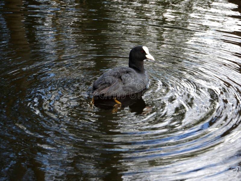 老傻瓜在池塘的寂静的水中 免版税库存照片