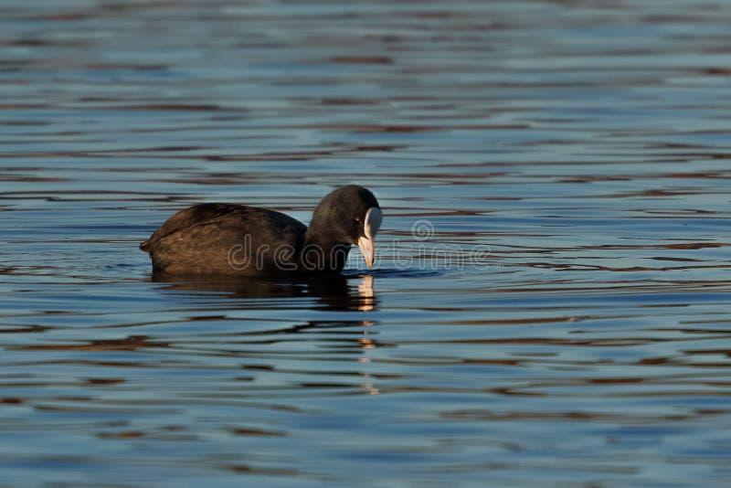 老傻瓜或欧亚混血人老傻瓜,骨顶属atra,在sunl的waterbird游泳 免版税库存照片