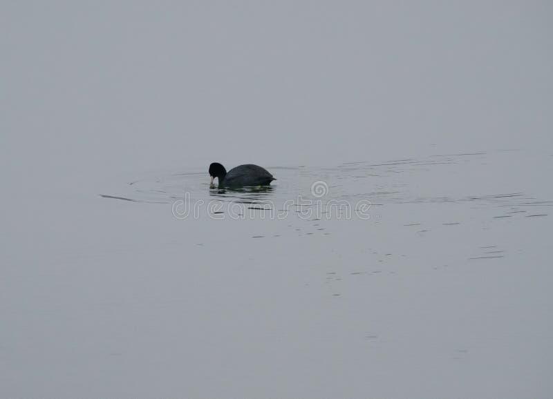 老傻瓜鸟看的快用浆划在自然保护的一条河 免版税图库摄影