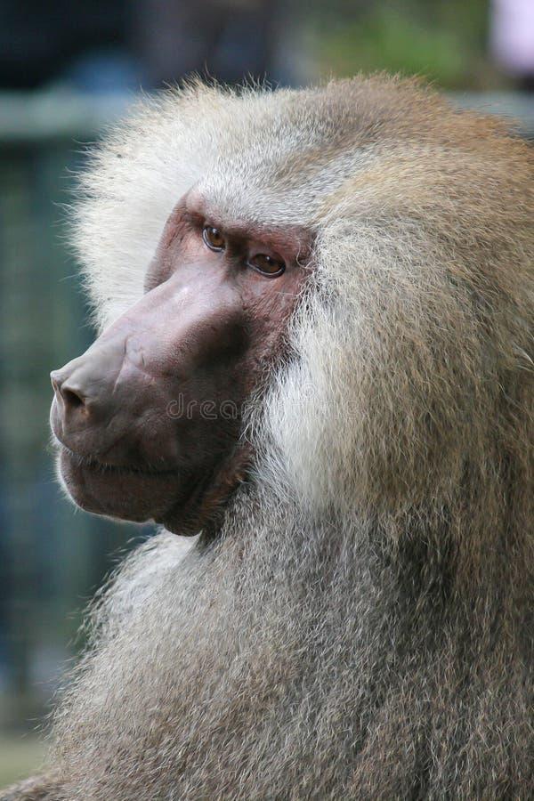 老公狒狒 免版税库存照片