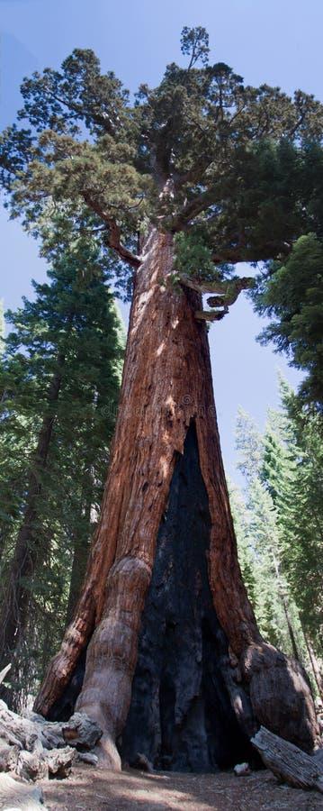 老北美灰熊巨型红木在优胜美地 免版税库存图片