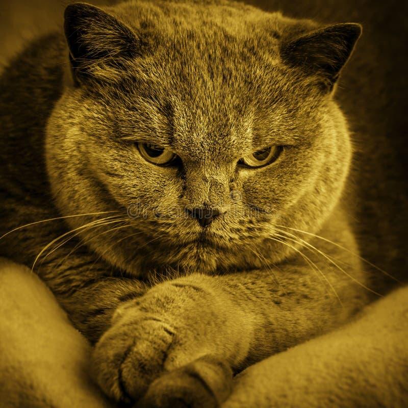 老可爱的英国猫画象  库存照片
