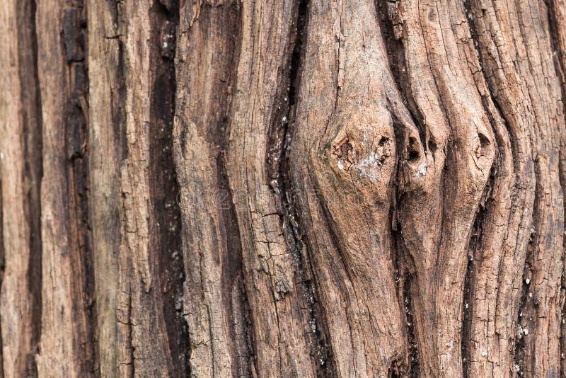 老吠声树纹理 免版税图库摄影