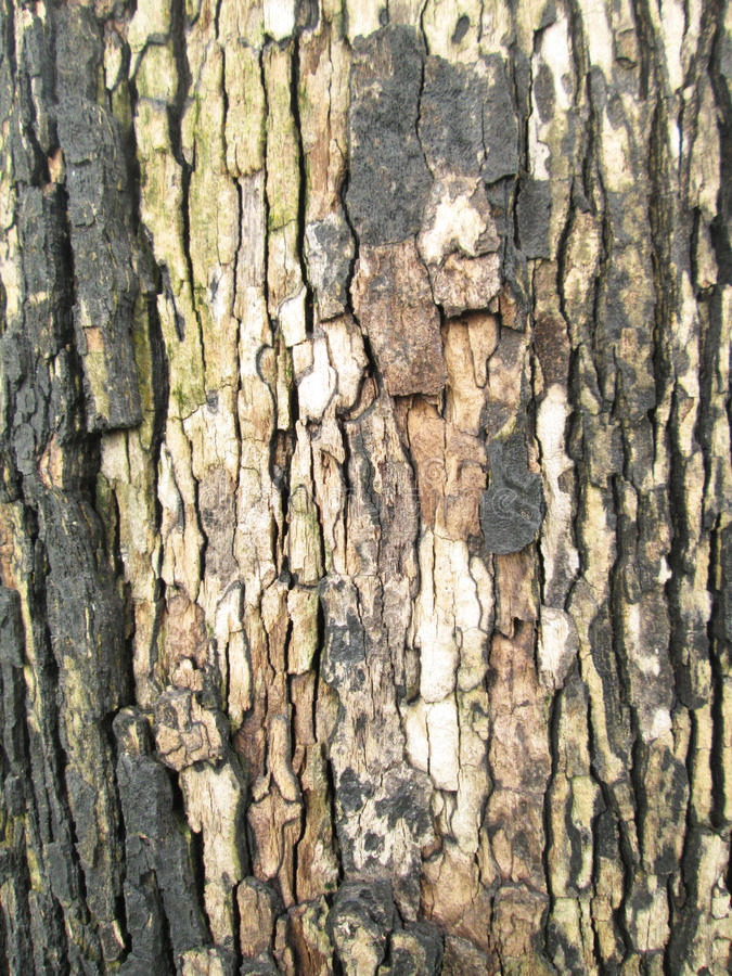Download 老吠声纹理 库存图片. 图片 包括有 森林, 粗砺, 杉木, 宏指令, 模式, 工厂, browne, 干燥 - 62526423