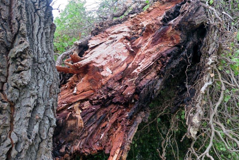 老大树分裂在两和摔倒在地 免版税库存照片