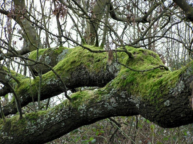 老大树枝 库存照片