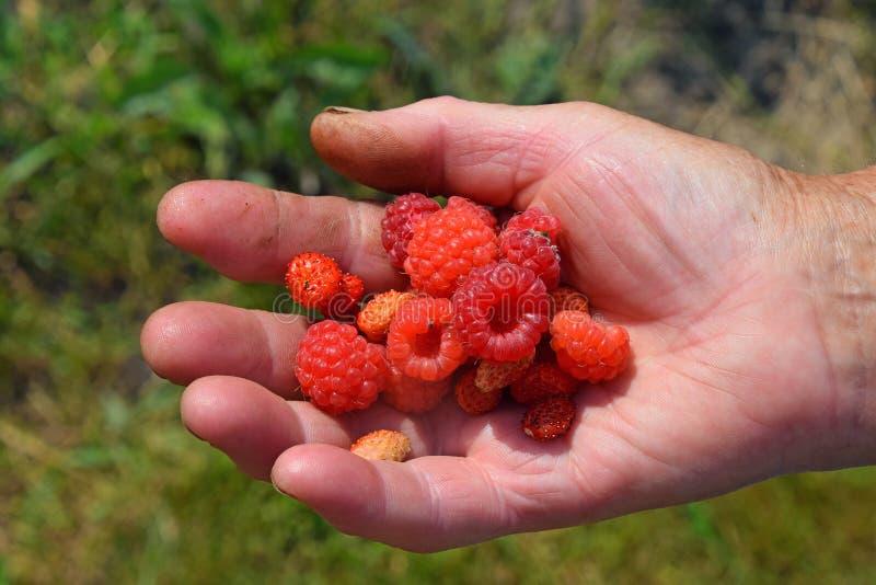 老妇人棕榈用红色夏天莓果 免版税库存图片