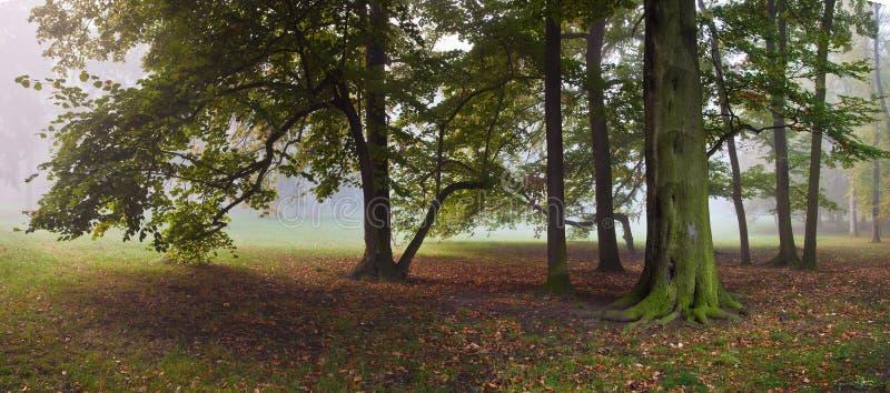 老山毛榉树在有雾的秋天公园 免版税库存图片