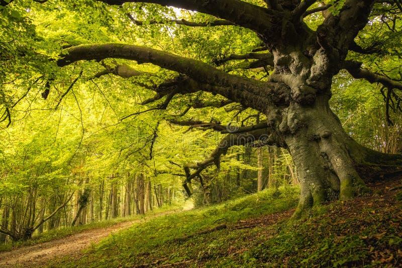 老山毛榉树在Goodwood庄园的森林地在英国 库存图片