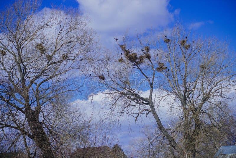 老干燥古老强有力的橡木和乌鸦巢 免版税图库摄影