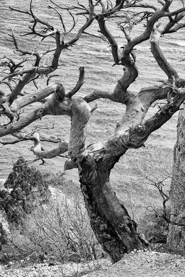 老干燥杉树 库存图片