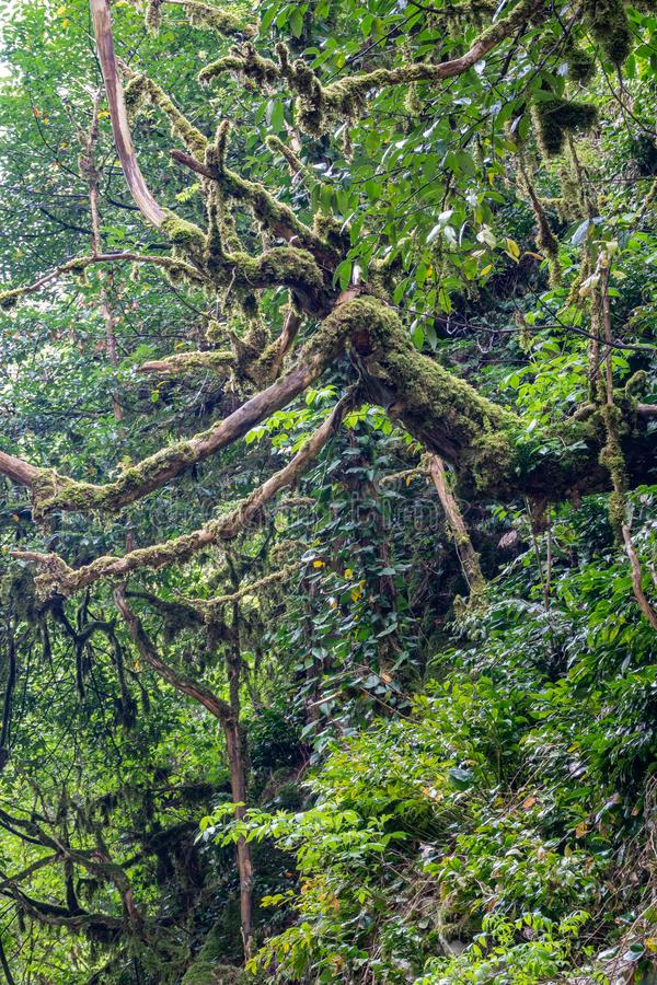 老干燥树长满与在山坡的青苔 图库摄影