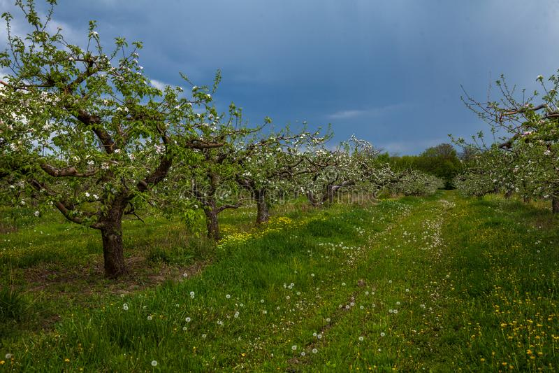 老开花的苹果庭院 免版税库存图片