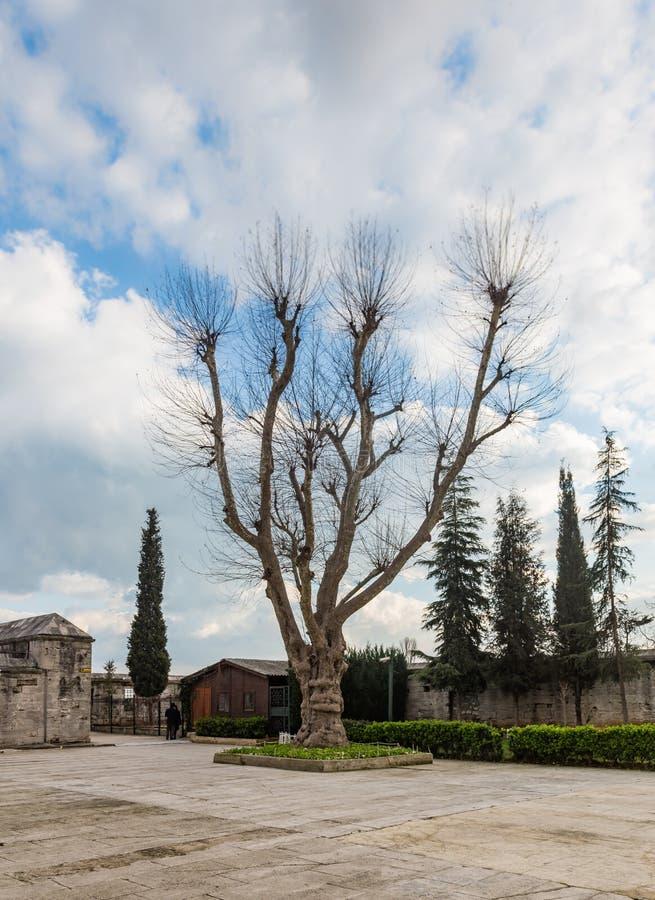 老悬铃树在一个清真寺的庭院里在伊斯坦布尔,土耳其 免版税库存图片