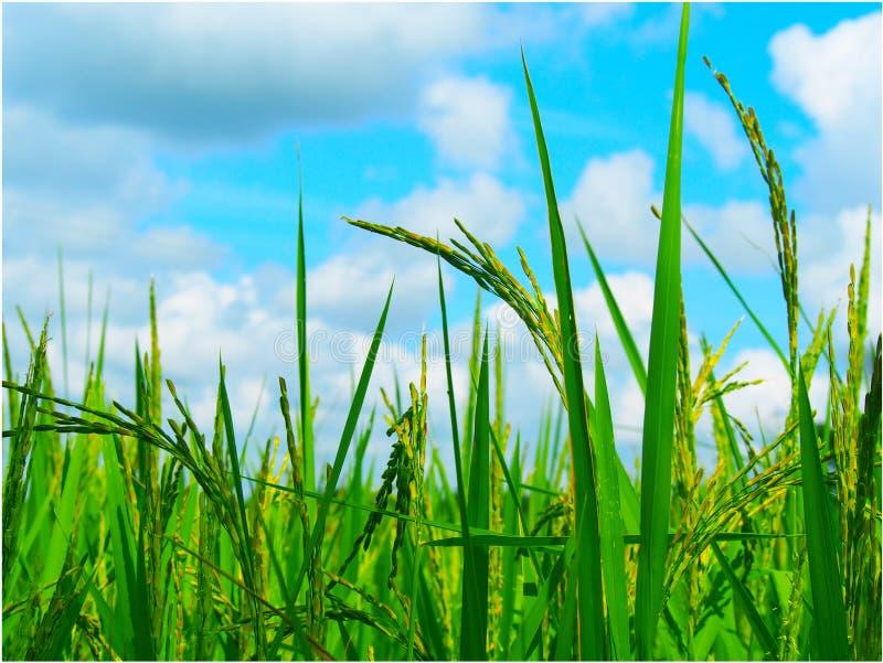 老挝人米领域 库存照片