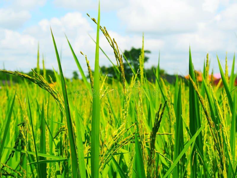 老挝人米领域 图库摄影