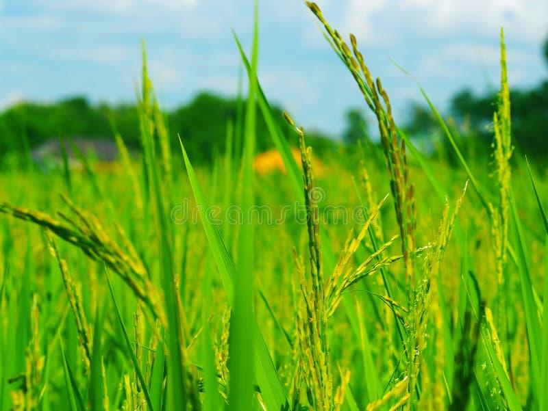 老挝人米领域 免版税库存图片