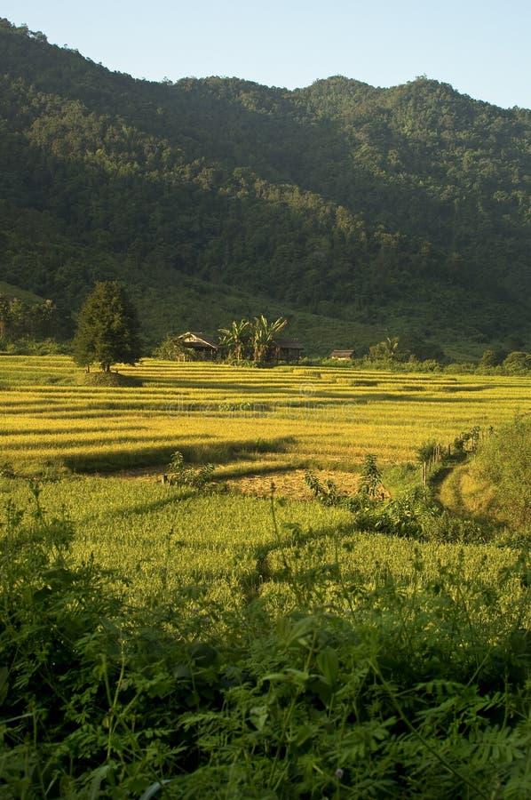 老挝米领域 免版税图库摄影