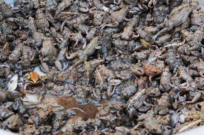 老挝:在巴色城市市场上的生存青蛙, 免版税图库摄影