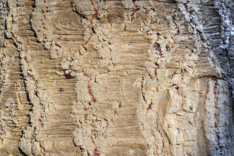 老智利松树树干纹理  免版税库存图片