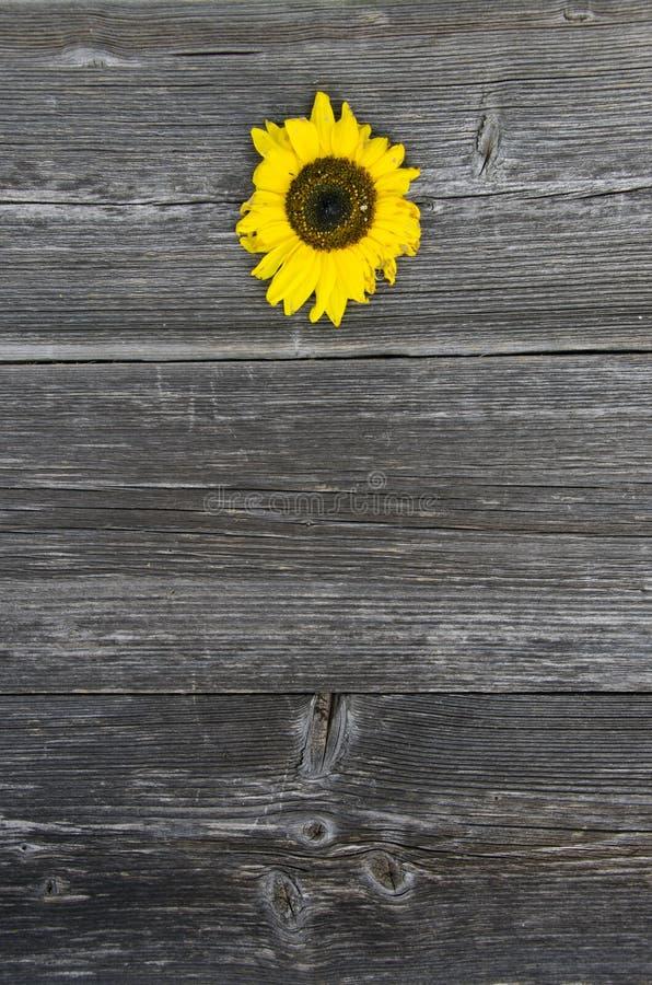 老木灰色板条板背景用向日葵 免版税库存照片