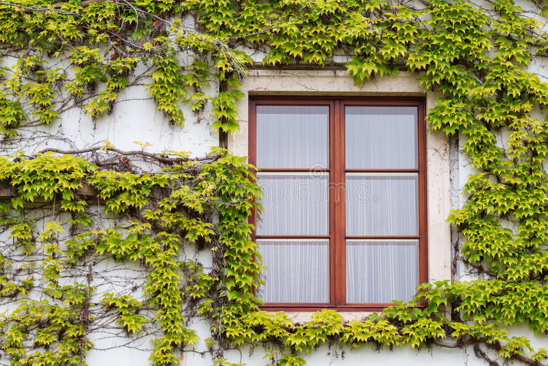 老木窗口长满与在秋天颜色的常春藤 免版税图库摄影