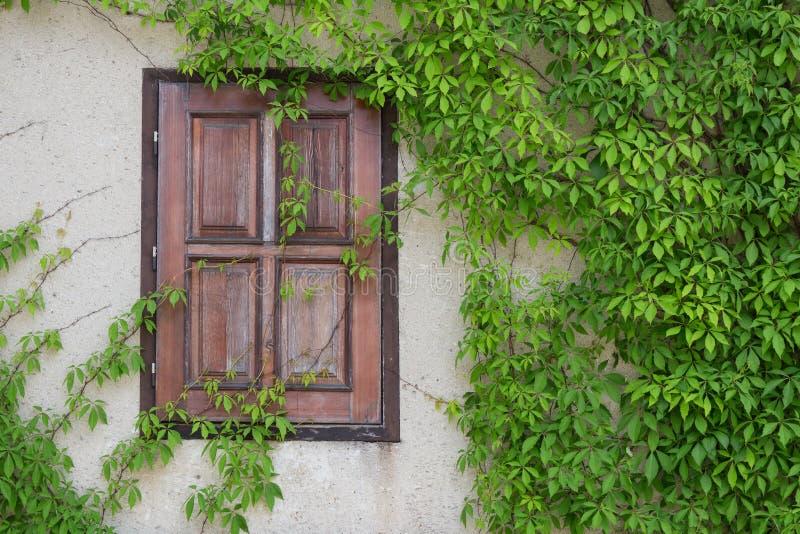 老木窗口长满与常春藤,捷克语 图库摄影