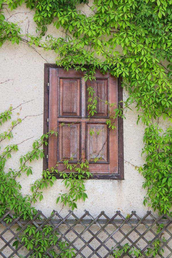 老木窗口长满与常春藤,捷克语 库存图片