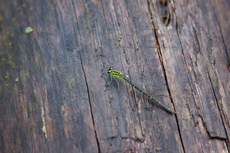 老木表面的蜻蜓基于 免版税库存照片