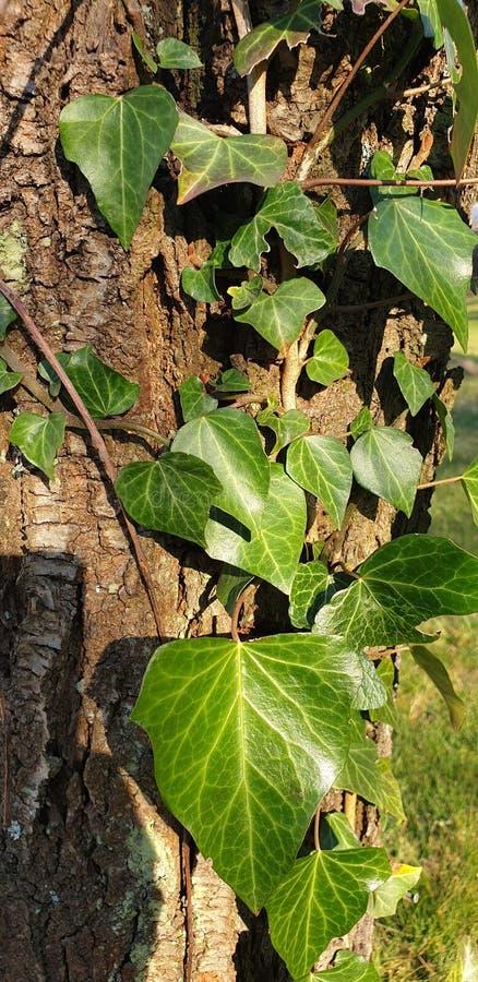 老树上的绿叶 免版税库存图片