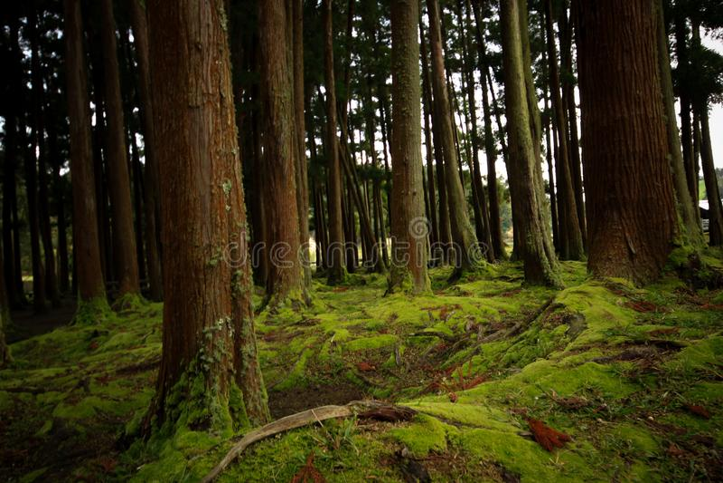 老树在有用青苔盖的地板的一个森林里 免版税库存图片