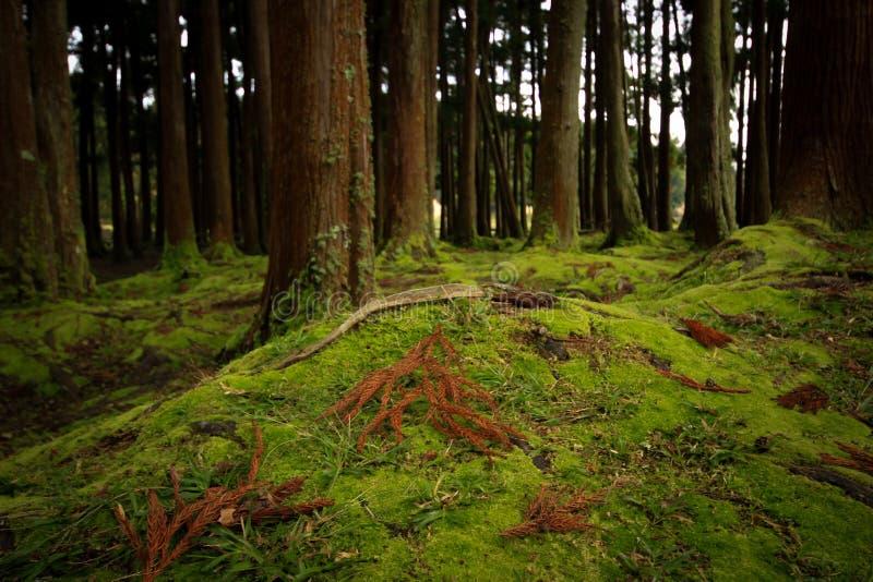 老树在有用青苔盖的地板的一个森林里 免版税库存照片