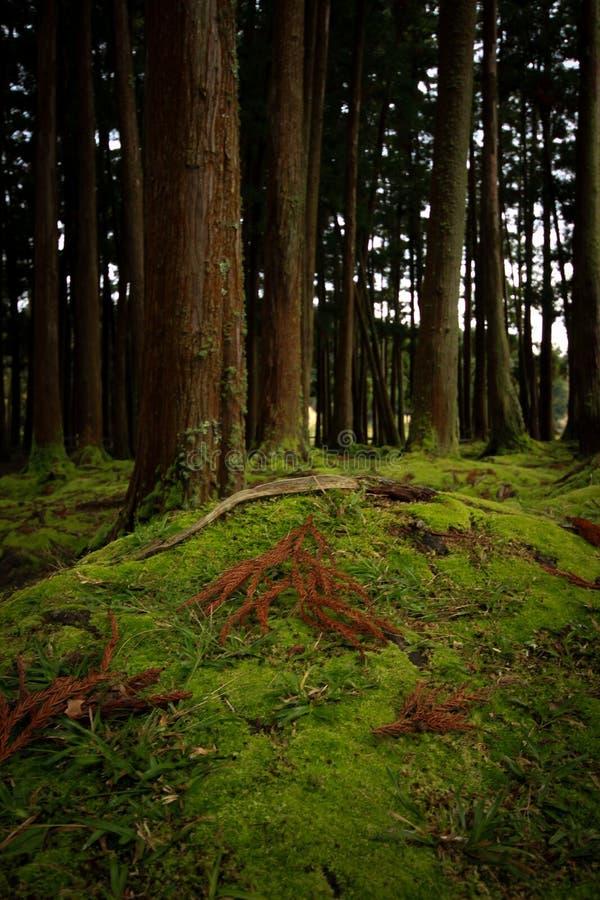 老树在有用青苔盖的地板的一个森林里 免版税图库摄影