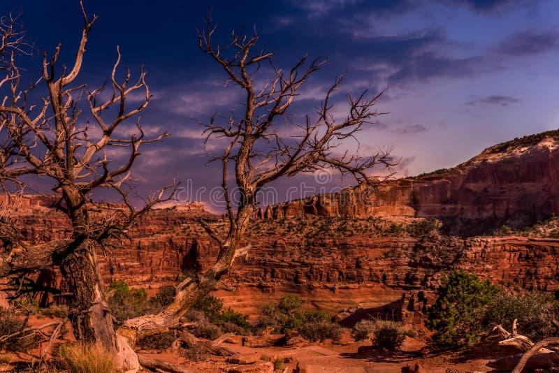 老树在黄昏的犹他沙漠 库存图片