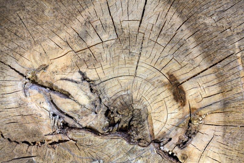 老树干的部分 免版税库存图片