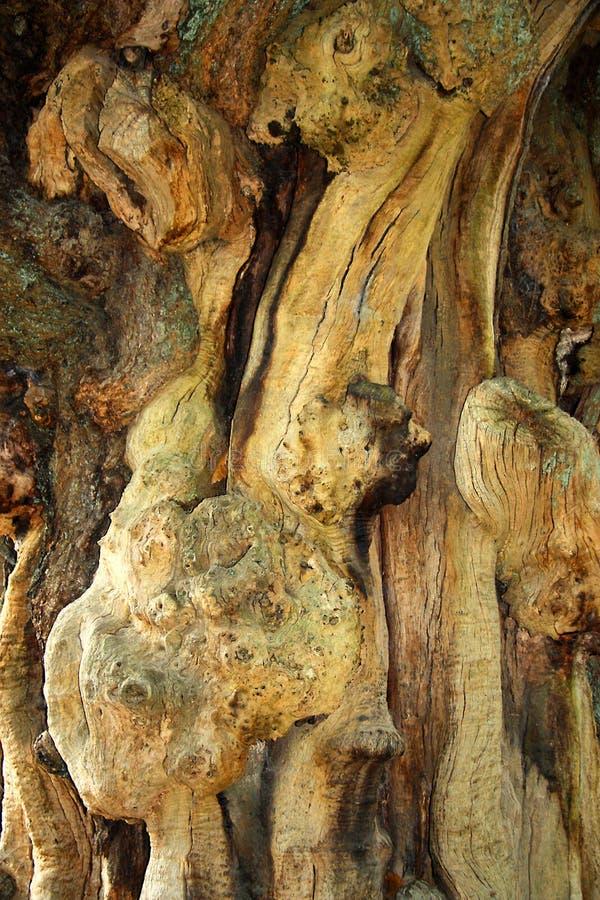 老树扭转和粗糙的吠声  库存照片