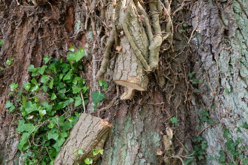 老树生长是被削的宏指令Efue的回合  免版税图库摄影