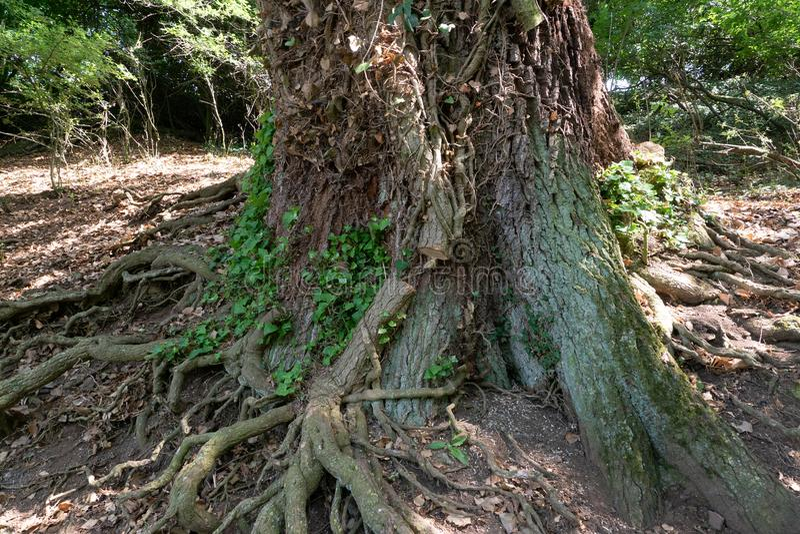 老树生长是被削的细节Efue的回合  免版税图库摄影