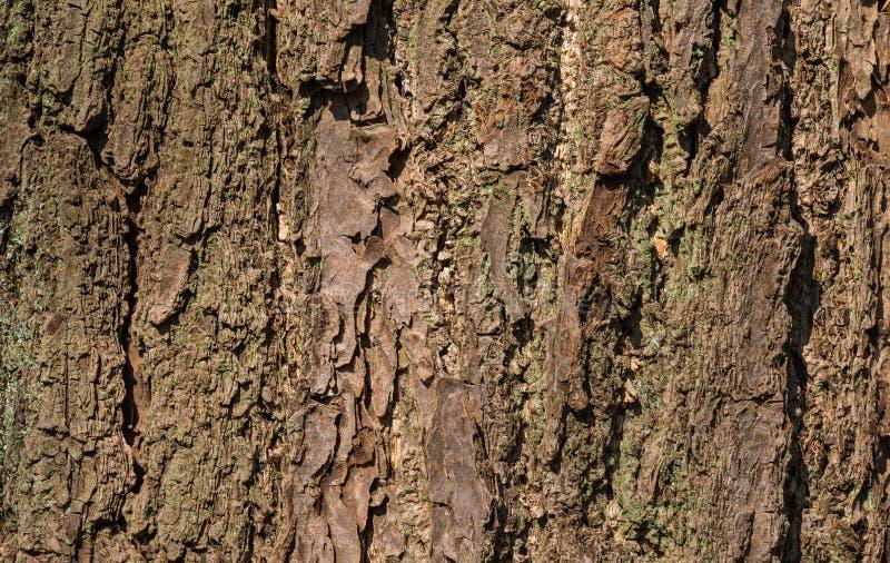 老树皮有地衣背景 图库摄影