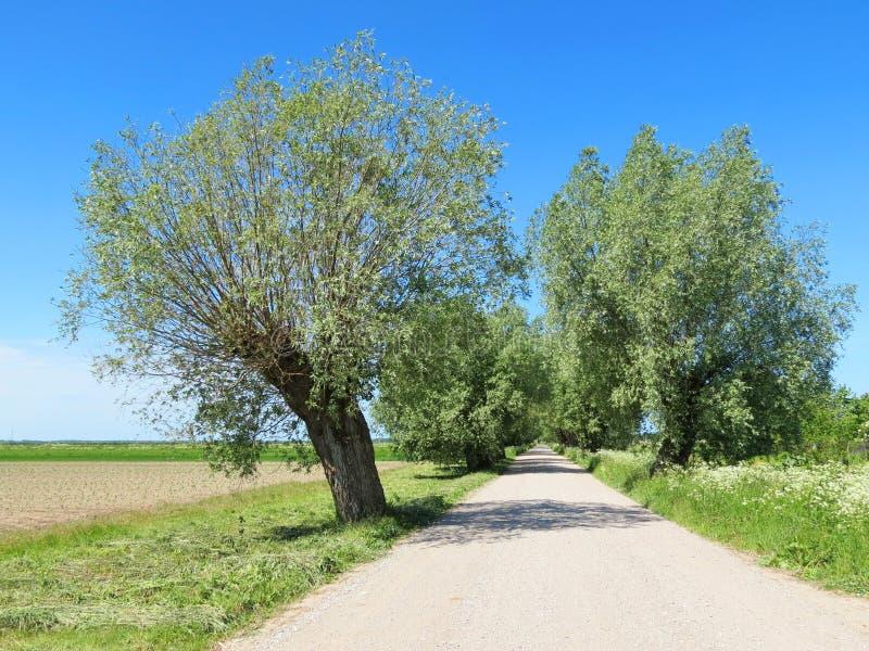 老树临近方式立陶宛 免版税图库摄影