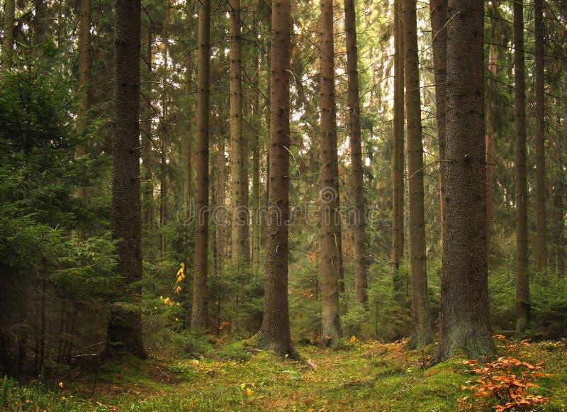 老森林 库存图片