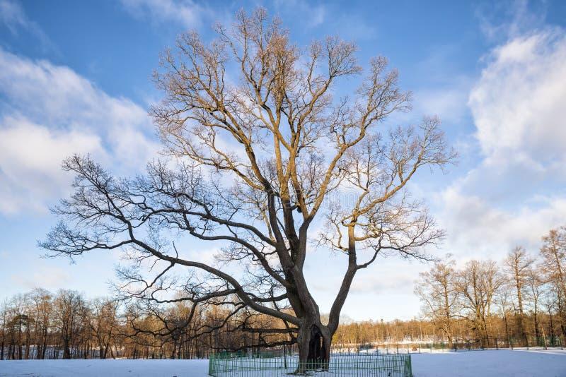 老橡木在Gatchina公园 免版税图库摄影