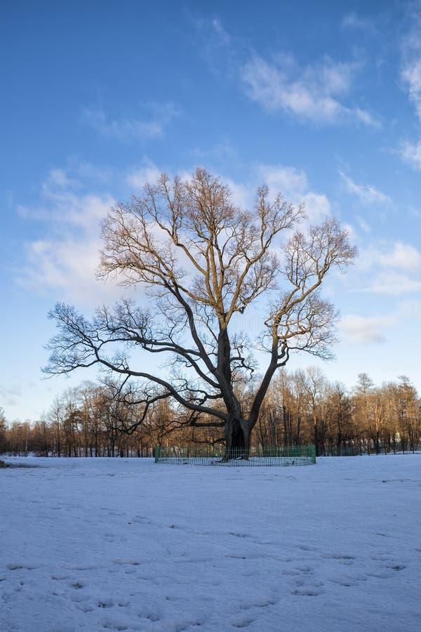 老橡木在Gatchina公园 库存照片