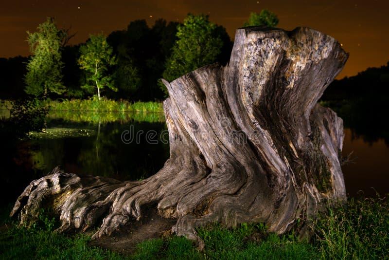 老橡木的树桩在晚上 免版税库存照片
